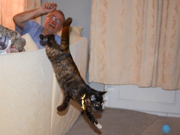 Retriever cat 2