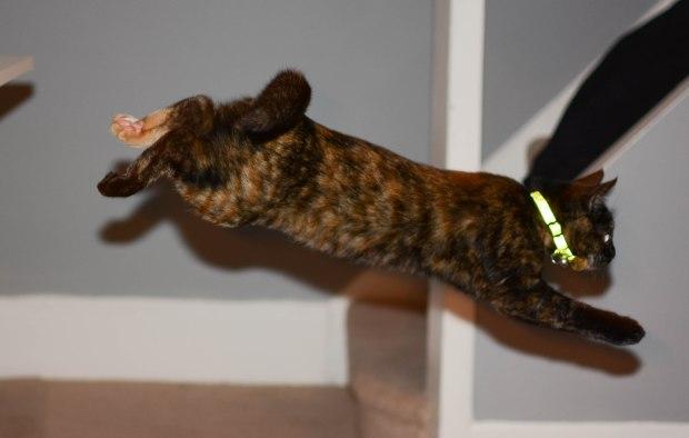 Retriever cat 3