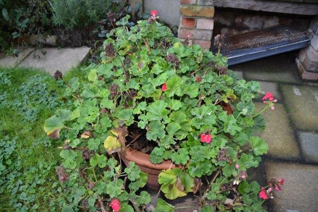 geraniums 1