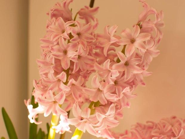 Hyacinths 1