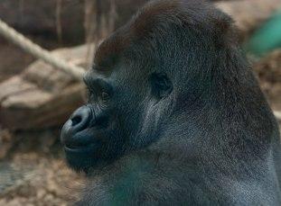 What a handsome gorilla.