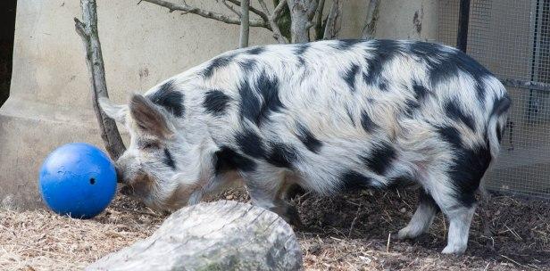 Pig playing football.
