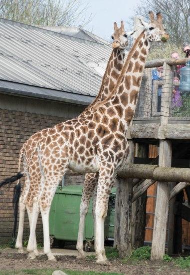 Giraffes being fed.