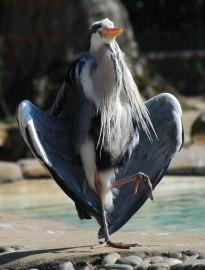 A wonderful heron.