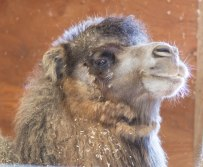 A furry camel.