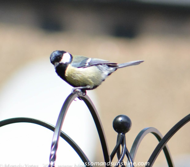 Great Tit. 10