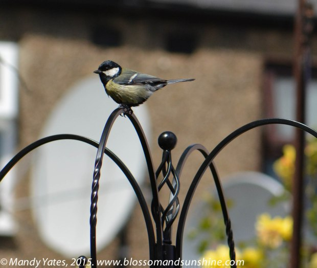 Great Tit. 4