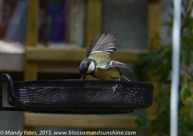 Great Tit. 5