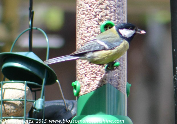 Great Tit. 9