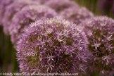 Hampton Court Flower Show 24