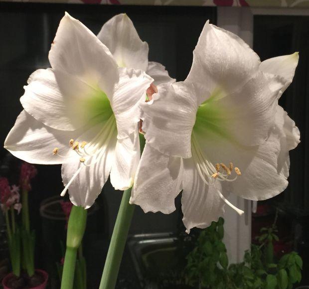 amaryllis opened 2