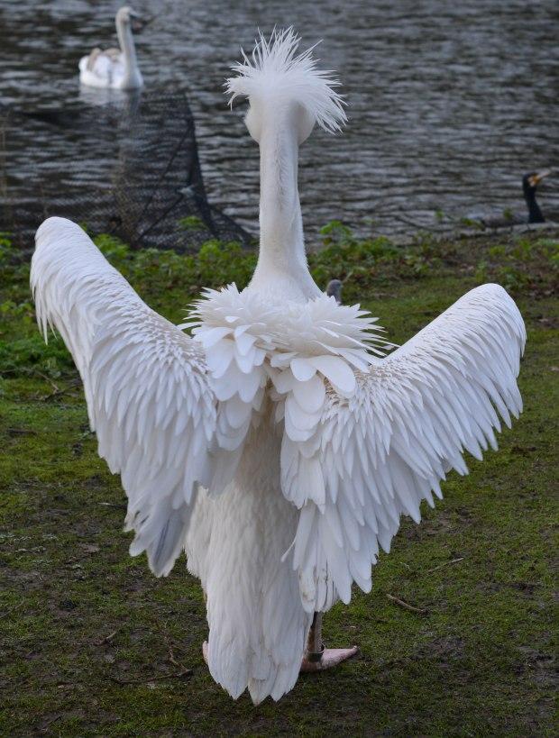 Pelicans 13
