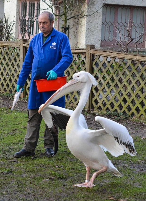 Pelicans 7