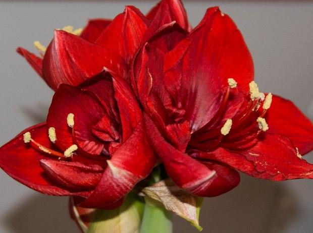 last amaryllis._