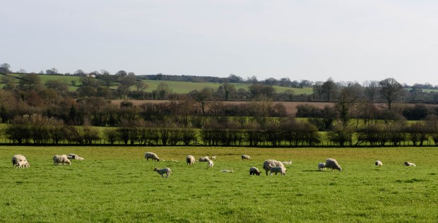 lambs 7