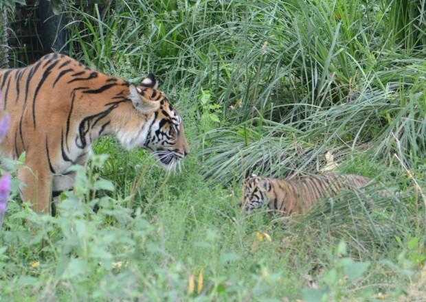 Tiger 1 (1 of 1)