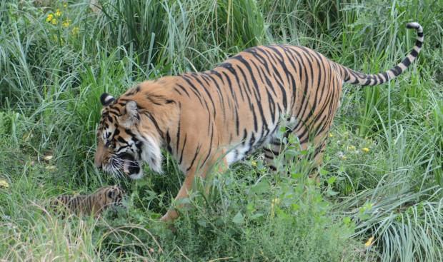 Tiger 5 (1 of 1)
