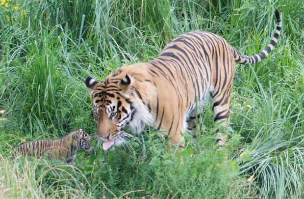 Tiger 6 (1 of 1)