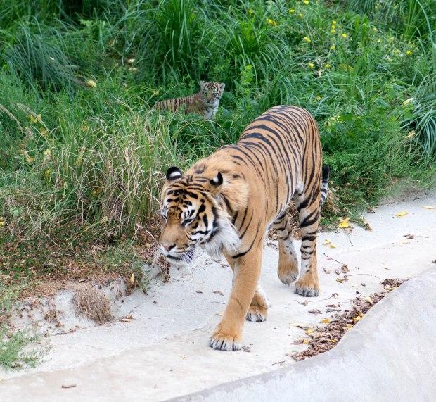 Tiger 7 (1 of 1)