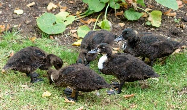 ducklings-1-of-1