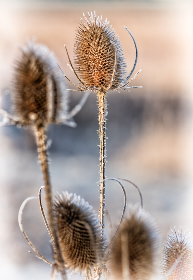 teasel-processed-_