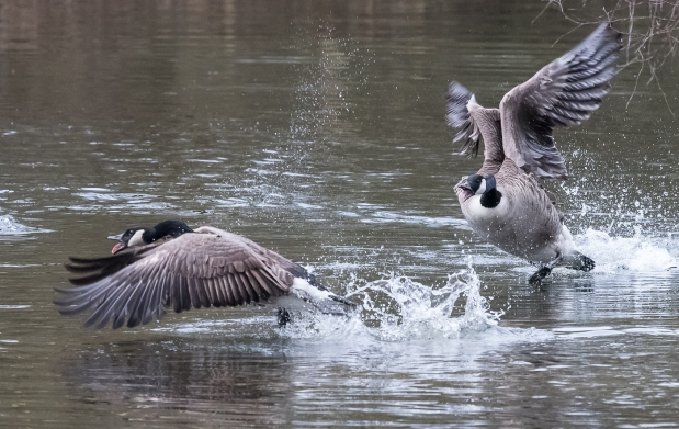 geese-playing-1-9