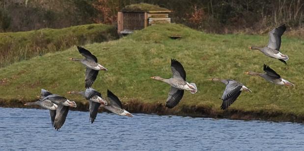 greylag-geese-1-2