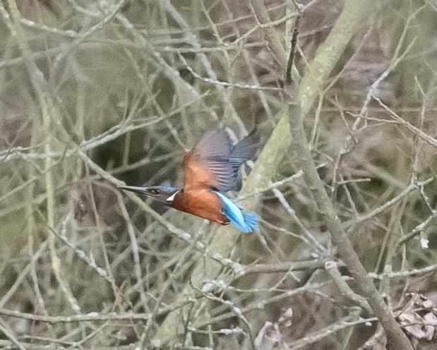 kingfisher-1-3