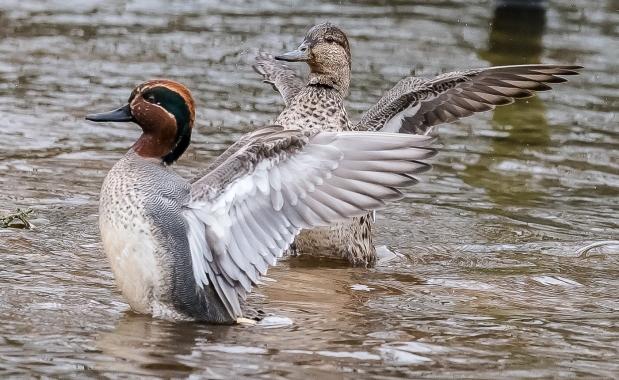 teal-ducks-1