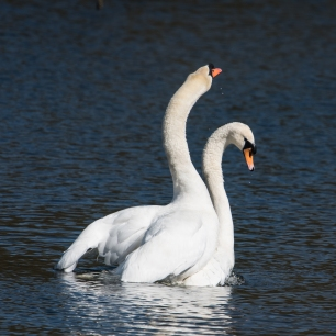 Swan Lake.-1