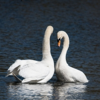 Swan Lake.-10