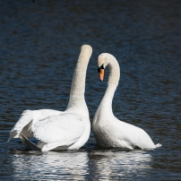 Swan Lake.-11