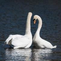 Swan Lake.-12