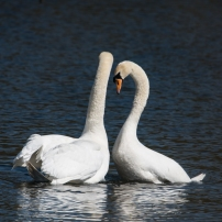 Swan Lake.-13