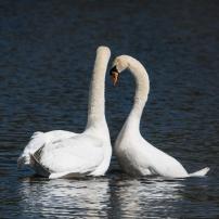 Swan Lake.-14