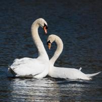 Swan Lake.-15