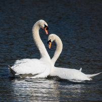 Swan Lake.-16