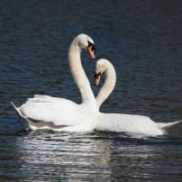 Swan Lake.-17