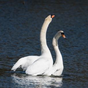Swan Lake.-2