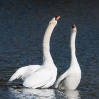 Swan Lake.-3