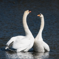 Swan Lake.-4