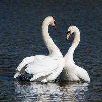 Swan Lake.-5