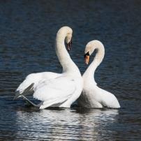 Swan Lake.-6