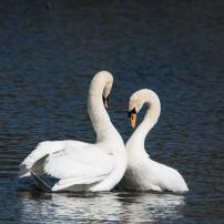 Swan Lake.-7