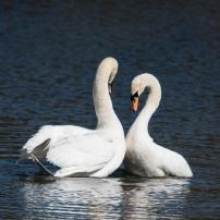 Swan Lake.-8