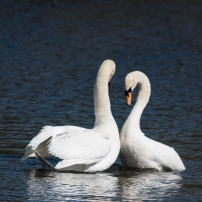 Swan Lake.-9