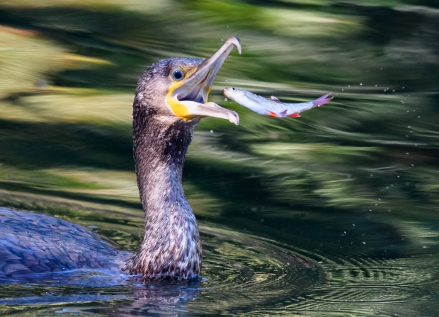 Cormorant catching fish-1